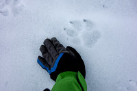 Wolf Tracks on the lake - almost the size of my hand!