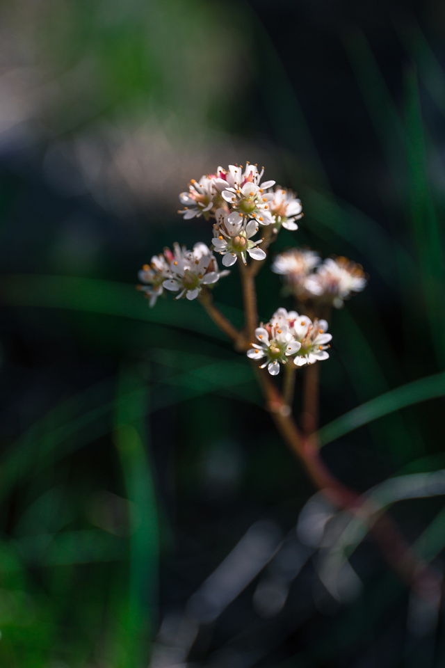 Another one of my favorites - Spotted Saxifrage.