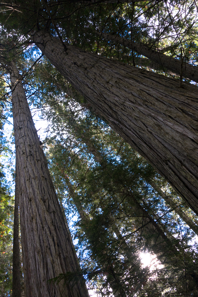 An impressive stand of cedar trees can grow on the south side of Robson thanks to it's ability to generate rainfall