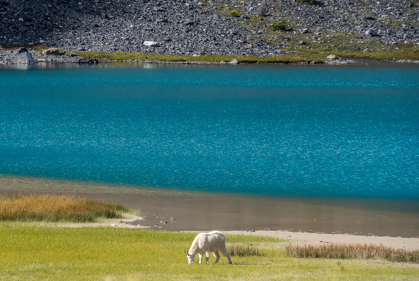 One of my favorite Rockies animals - a gorgeous mountain billy goat grazes near Capricorn Lake.