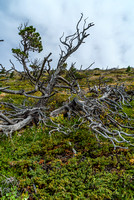 A common theme in the Waterton / Castle area is shriveled up, ancient trees!