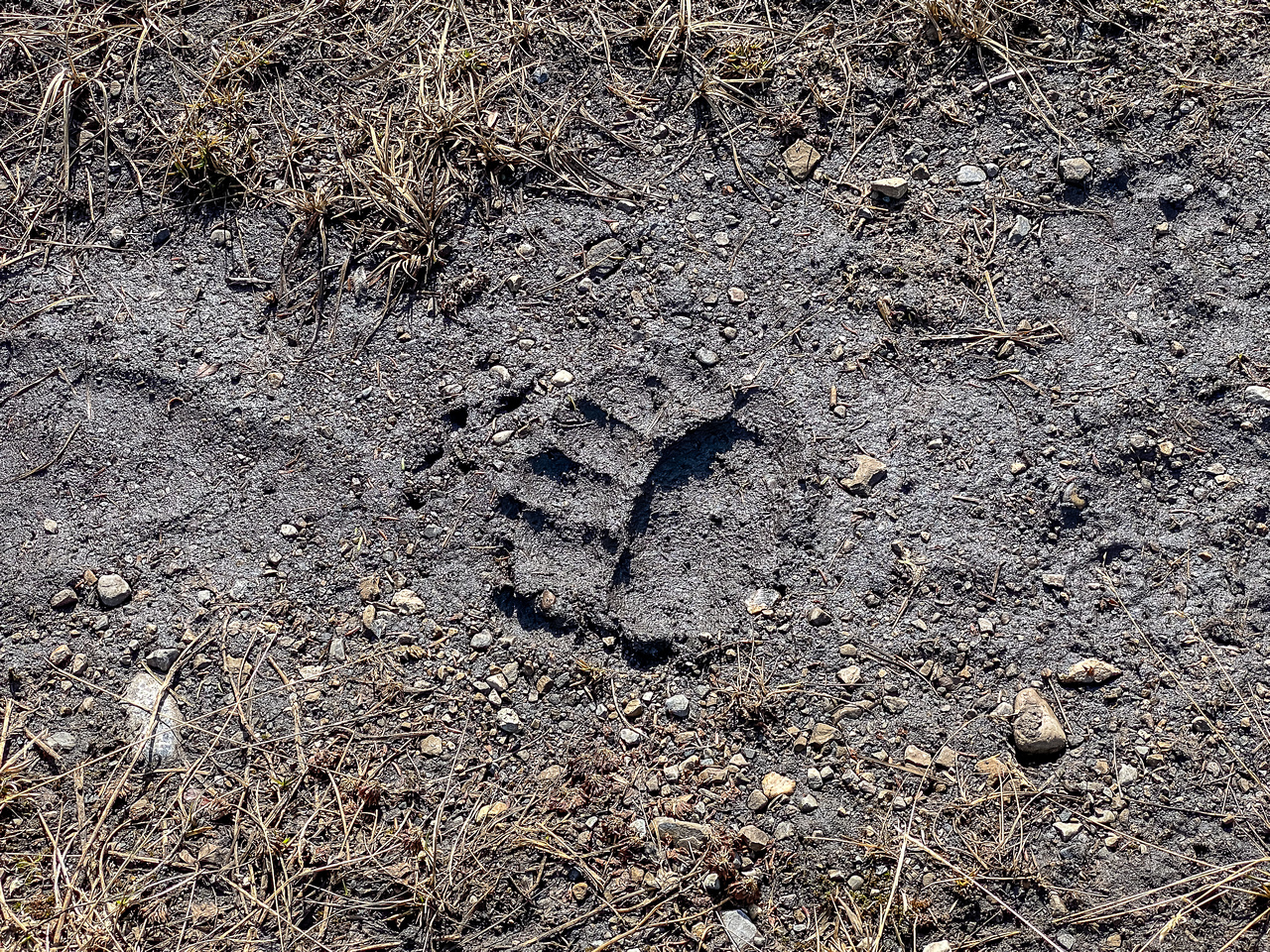 Lots of bear tracks of varying sizes up the Scalp Creek Trail.
