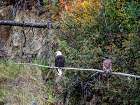 A pair of eagles along the river.