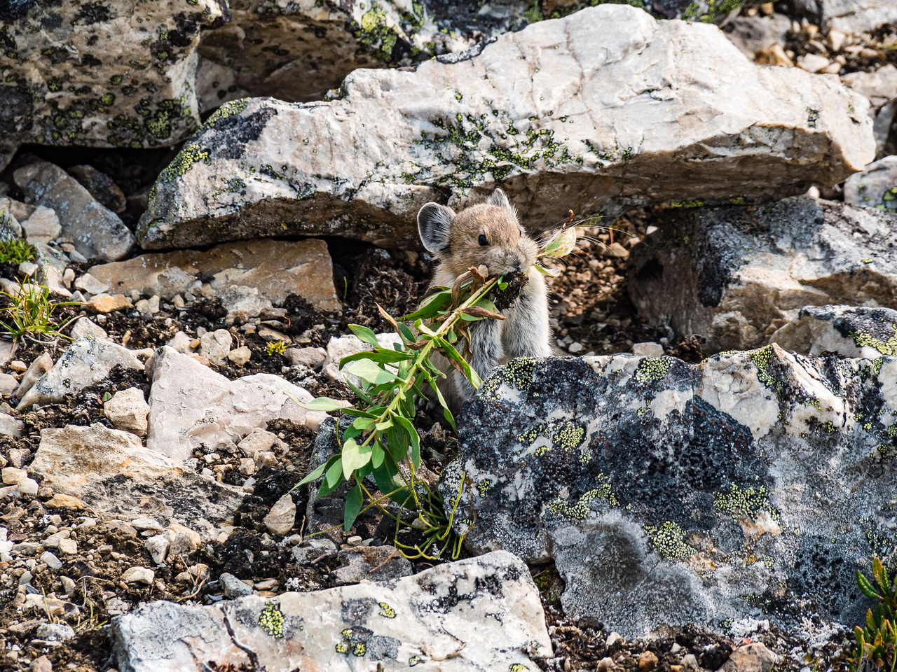 Pika's were more visible than I've ever seen before - they seemed to be in a huge rush to gather and store food for winter.