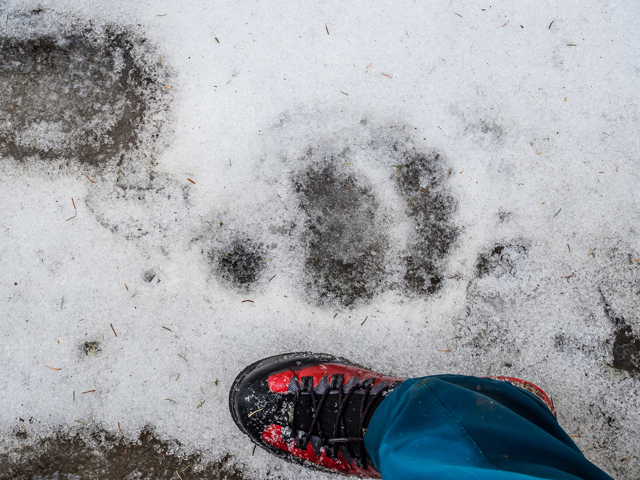 Hmmm. That's a pretty large sized bear print I've been following.