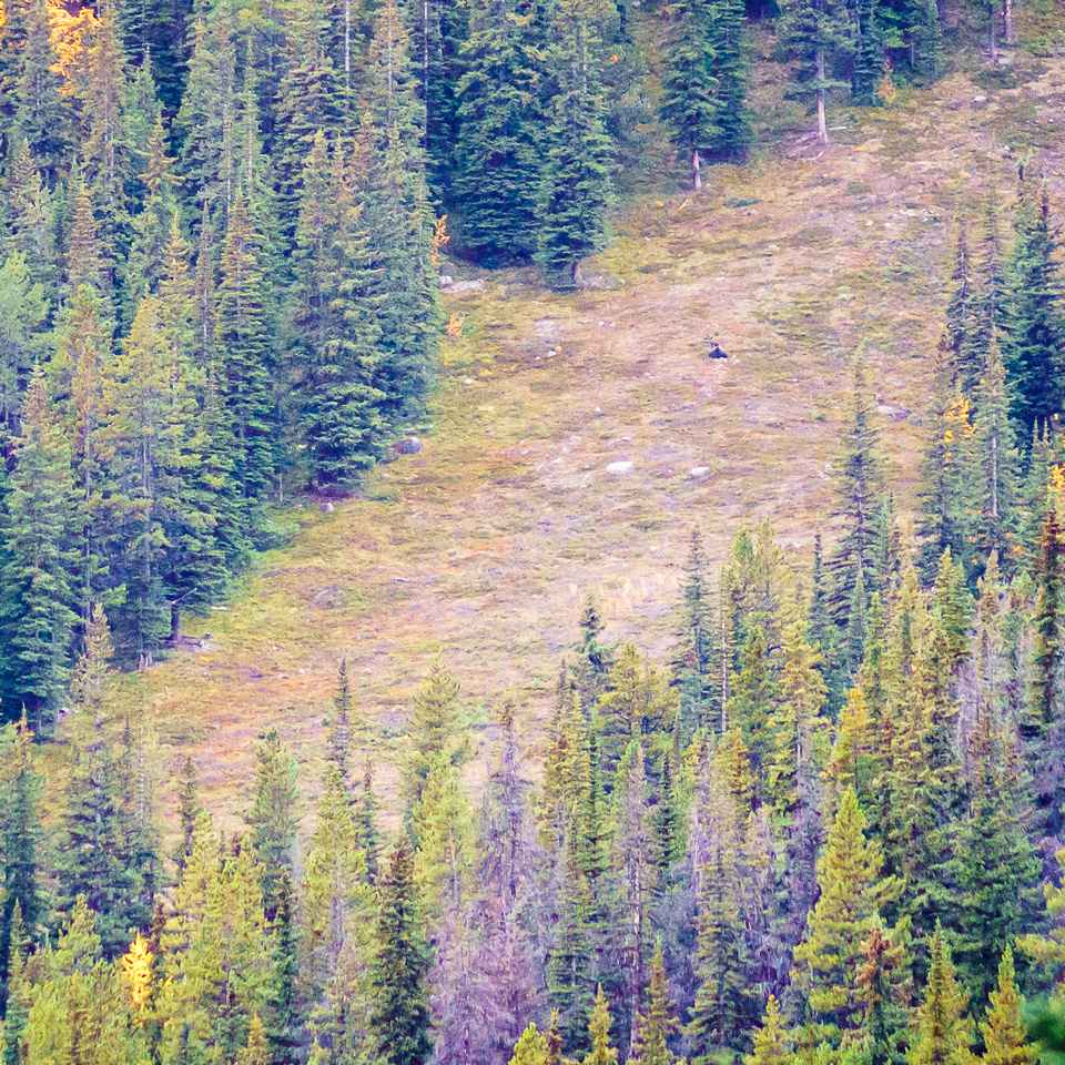 He's hard to spot - but there's a massive grizzly in this photo!