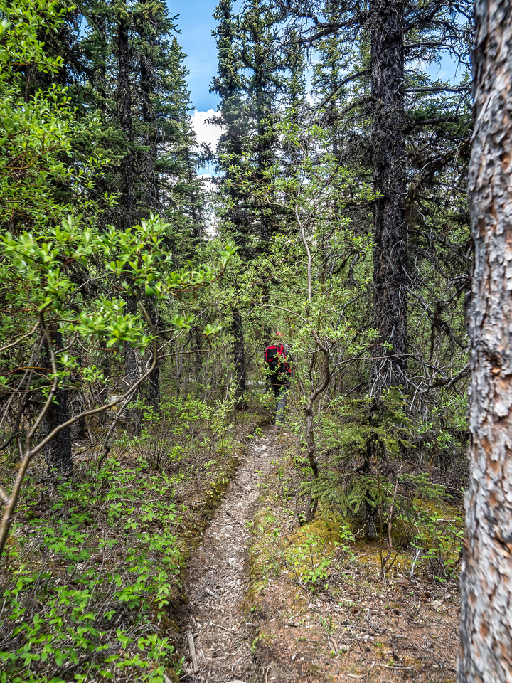 A very pleasant section of the Whitegoat Pass trail.