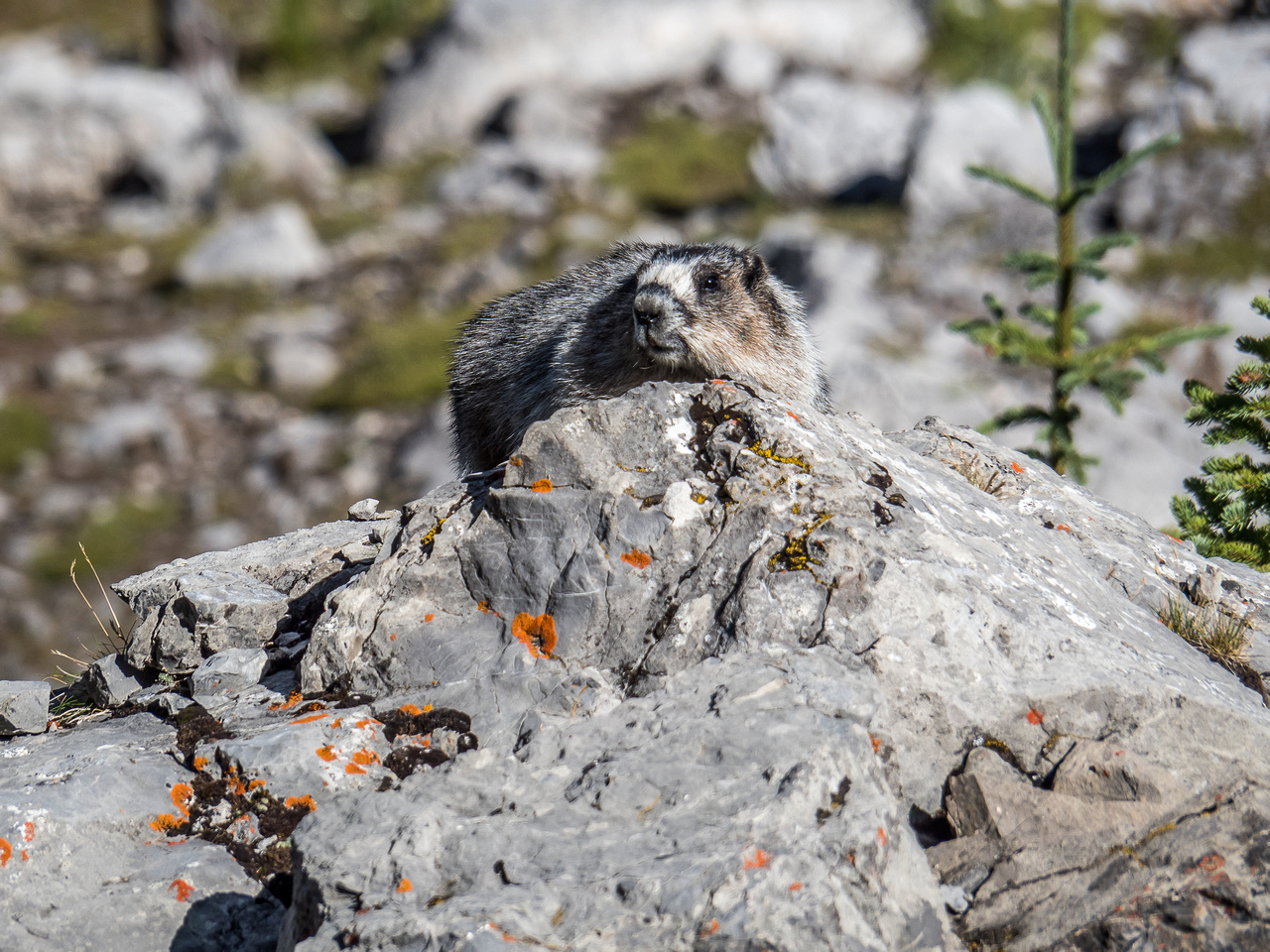 I have never seen so many marmots on a hike before. This is marmot heaven.