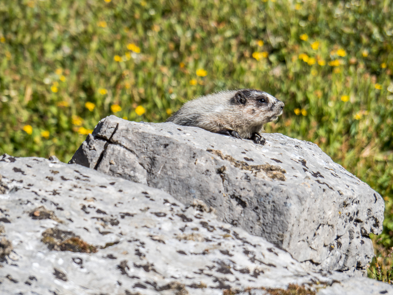 An adolescent marmot scopes us out.