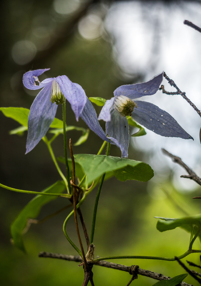 I'm not sure why but Clematis always look depressed to me, like they don't really want to be there but felt like they should make an effort anyway.