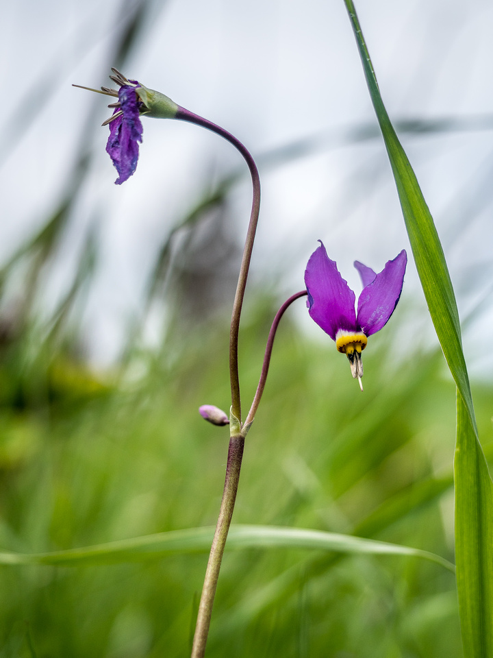 The shooting star flowers were already looking a little tired of life.