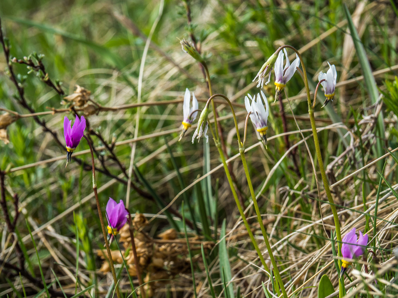 Shooting Star flowers with the white ones being older and fading from purple to white as they age. (dodecatheon conjugens)