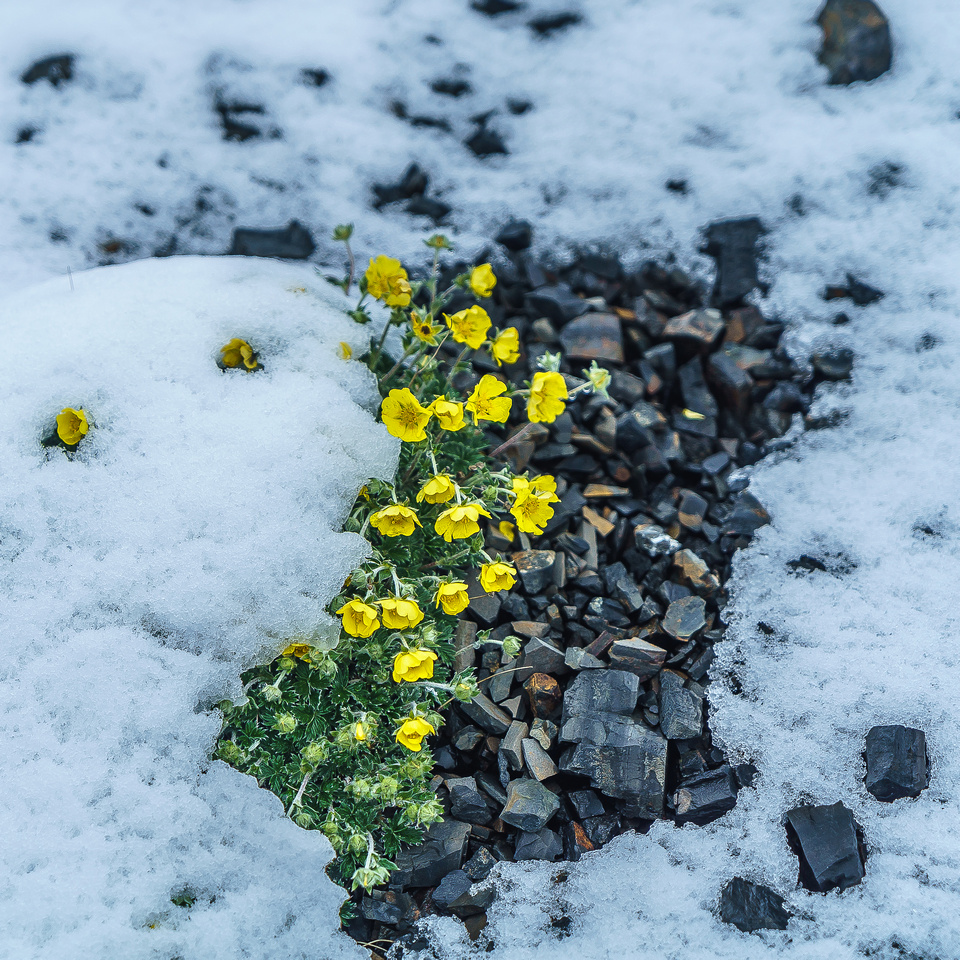 Alpine Buttercup.