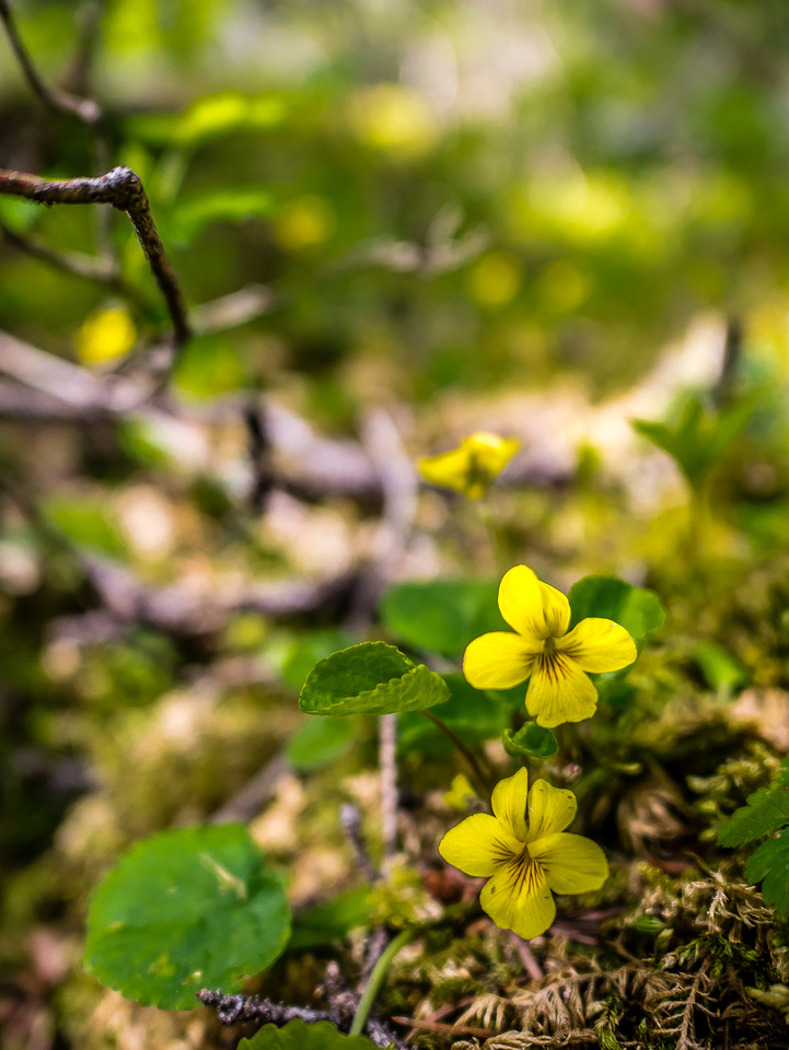 My favorite place to find these yellow violets is at the back of the Upper Kananaskis Lake.