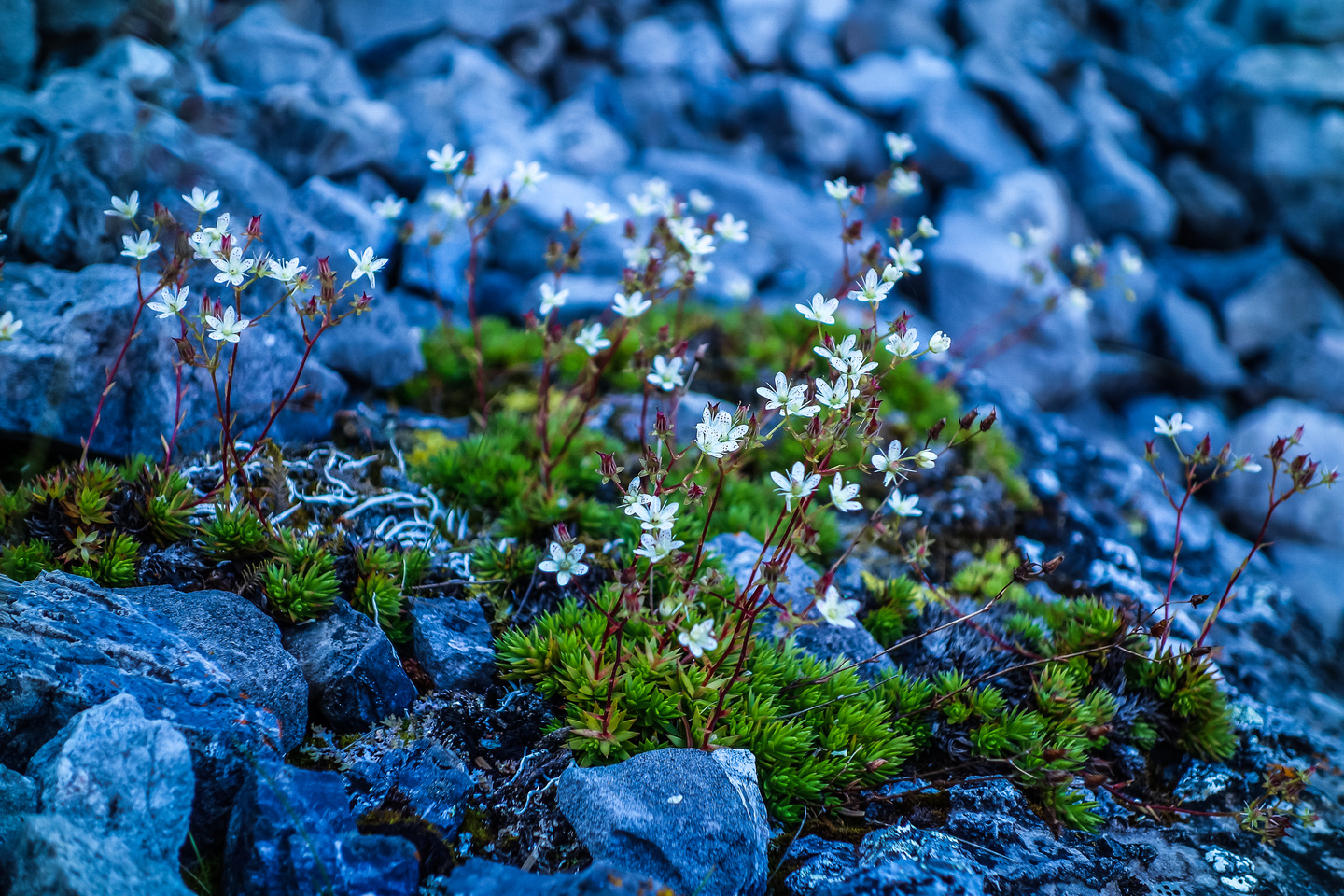 More Saxifrage - a delicate alpine flower that has tiny red dots on small white petals and thrives around alpine meadows / lakes such as these.