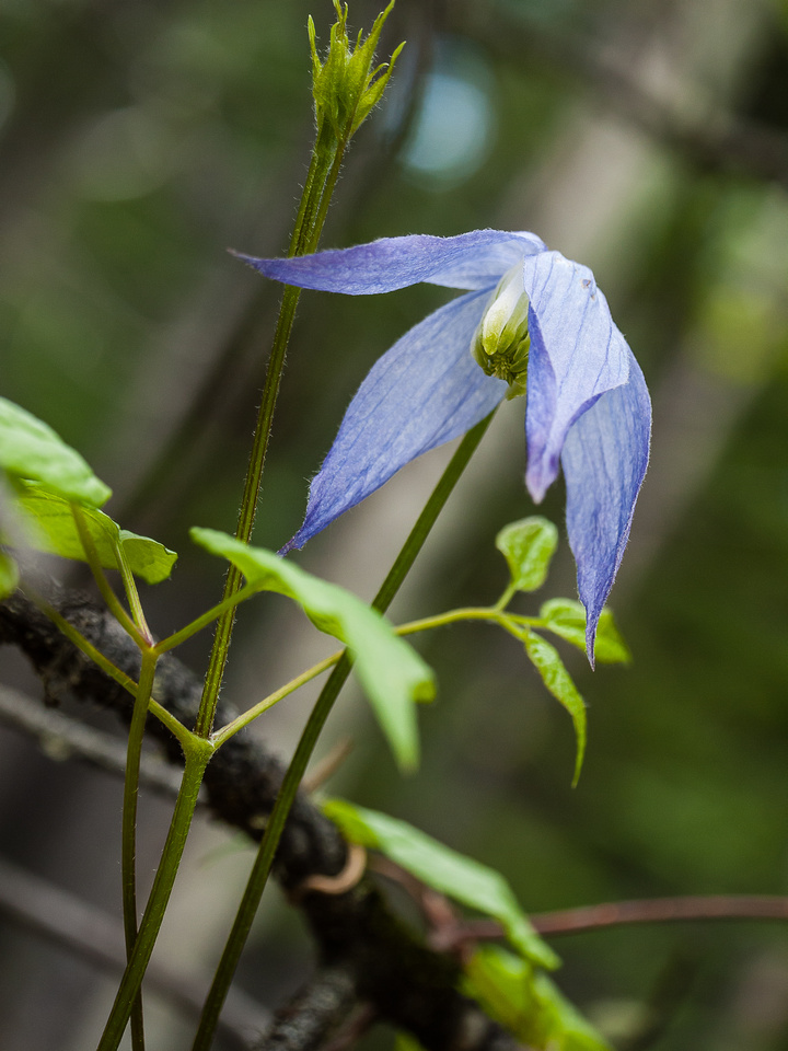 Another sign of spring, the climbing Clematis flower.