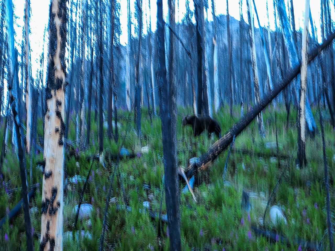 A blurry Grizzly!