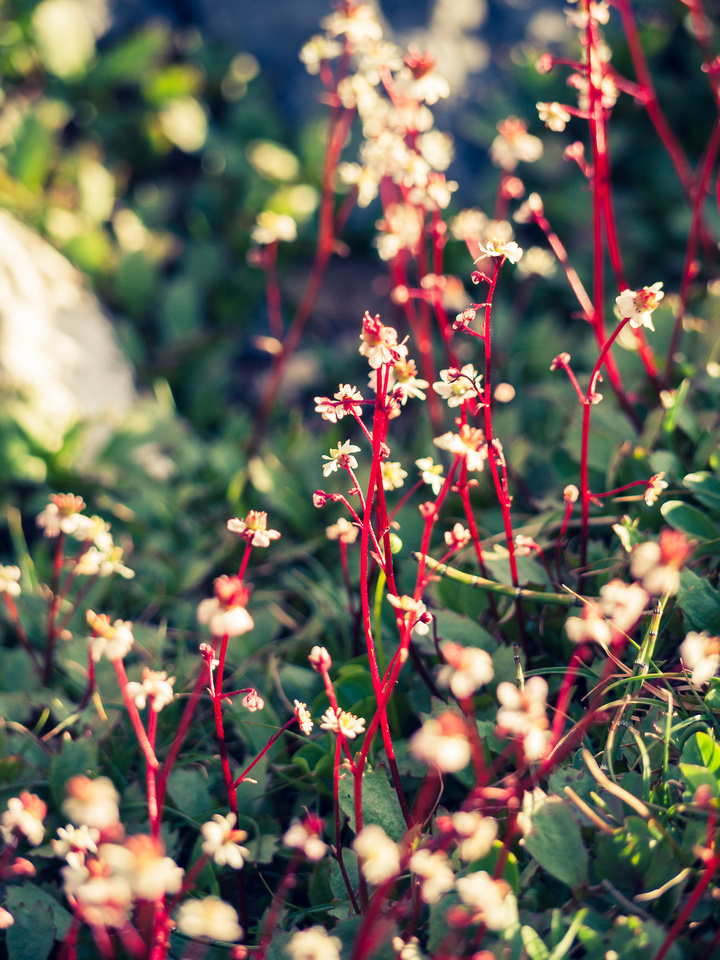 Saxifrage is a beautiful and tiny alpine flower that only thrives near water.