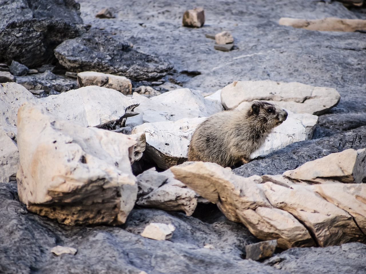 This marmot was intensely curious.