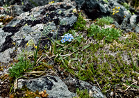 My favorite alpine flower - the forget-me-not.