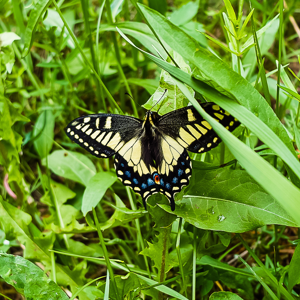 This butterfly made my day! I think it's a Swallowtail but I'm not sure.