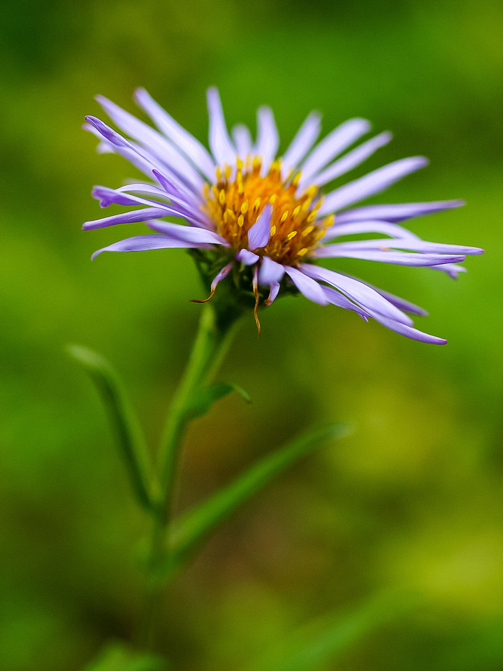 Asters stay nice the longest of any Rockies flower.