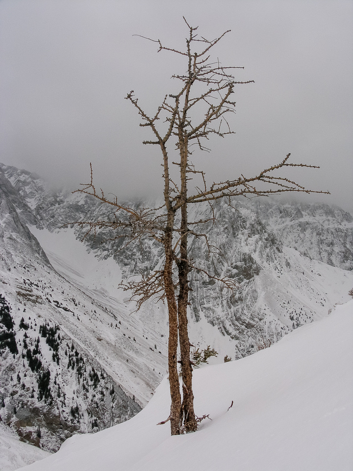 The lonely larch that Alan Kane makes famous in his book describing the route to the summit of Grizzly.