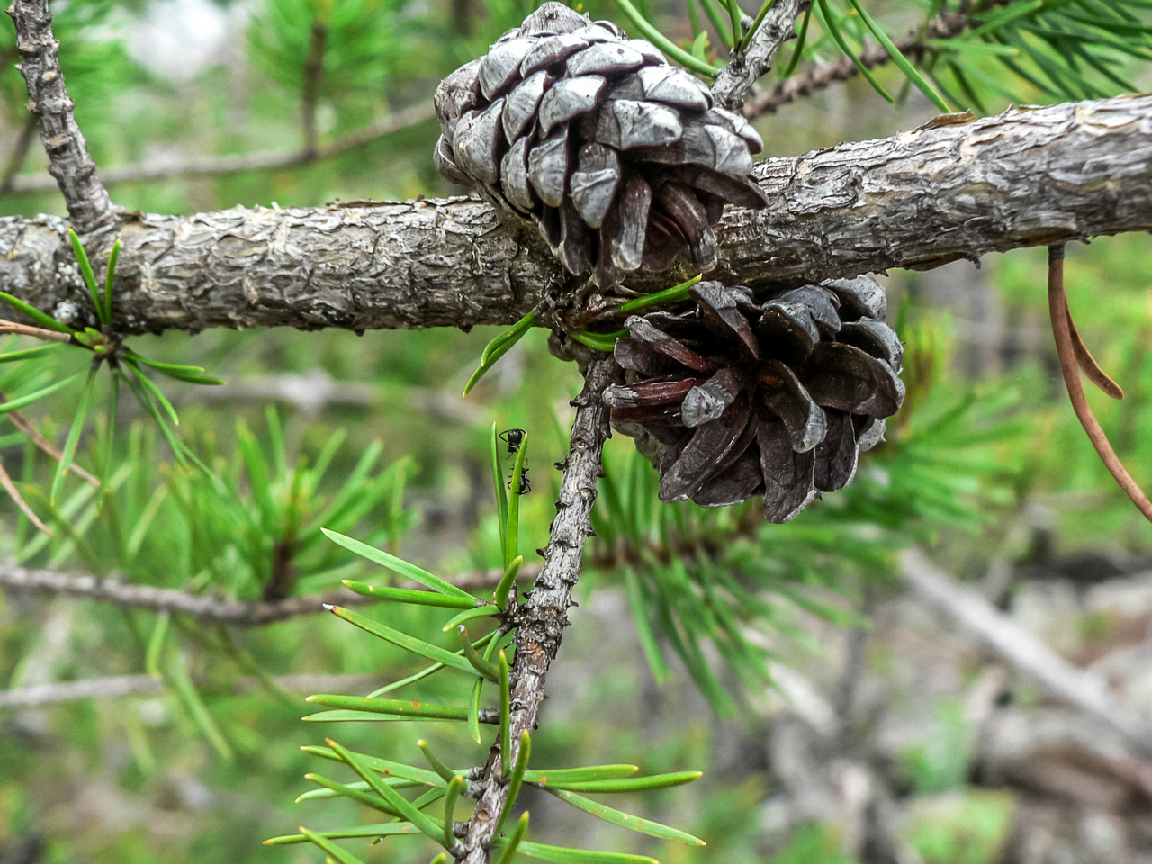 Canadian Shield flora.
