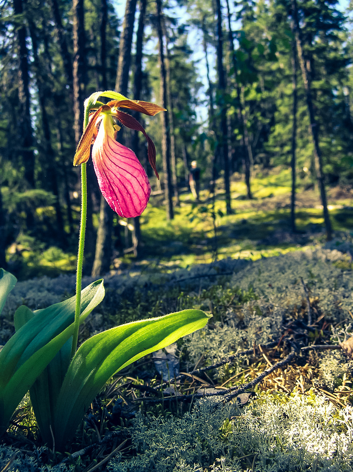 Walking along another portage finding my favorite flower - the Ladies Slipper.