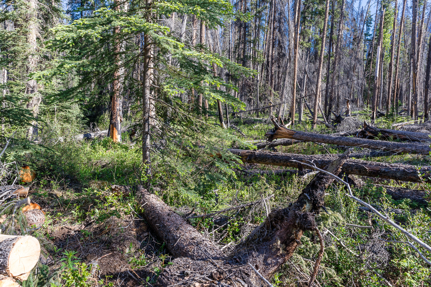 The trail is cut through some nasty sections of deadfall and burnt forest.
