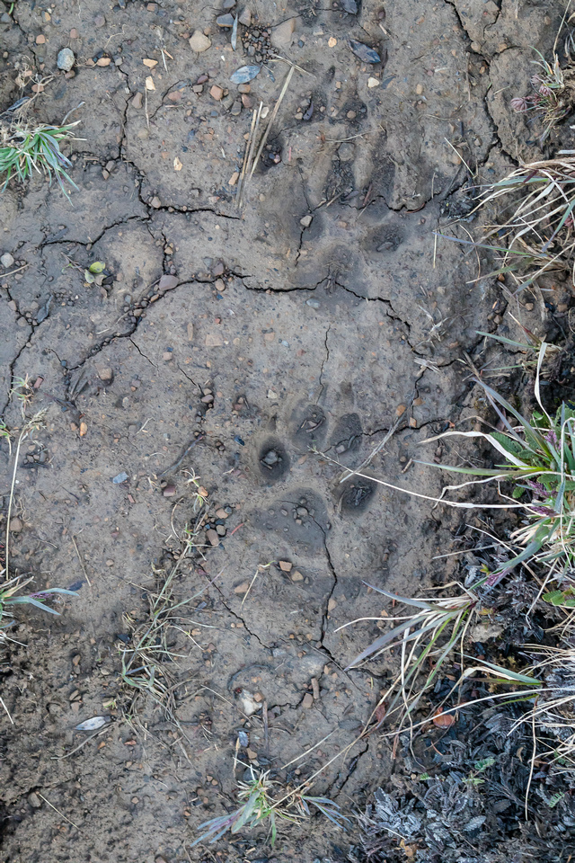 Wolf tracks in the bison tracks. Pretty cool.