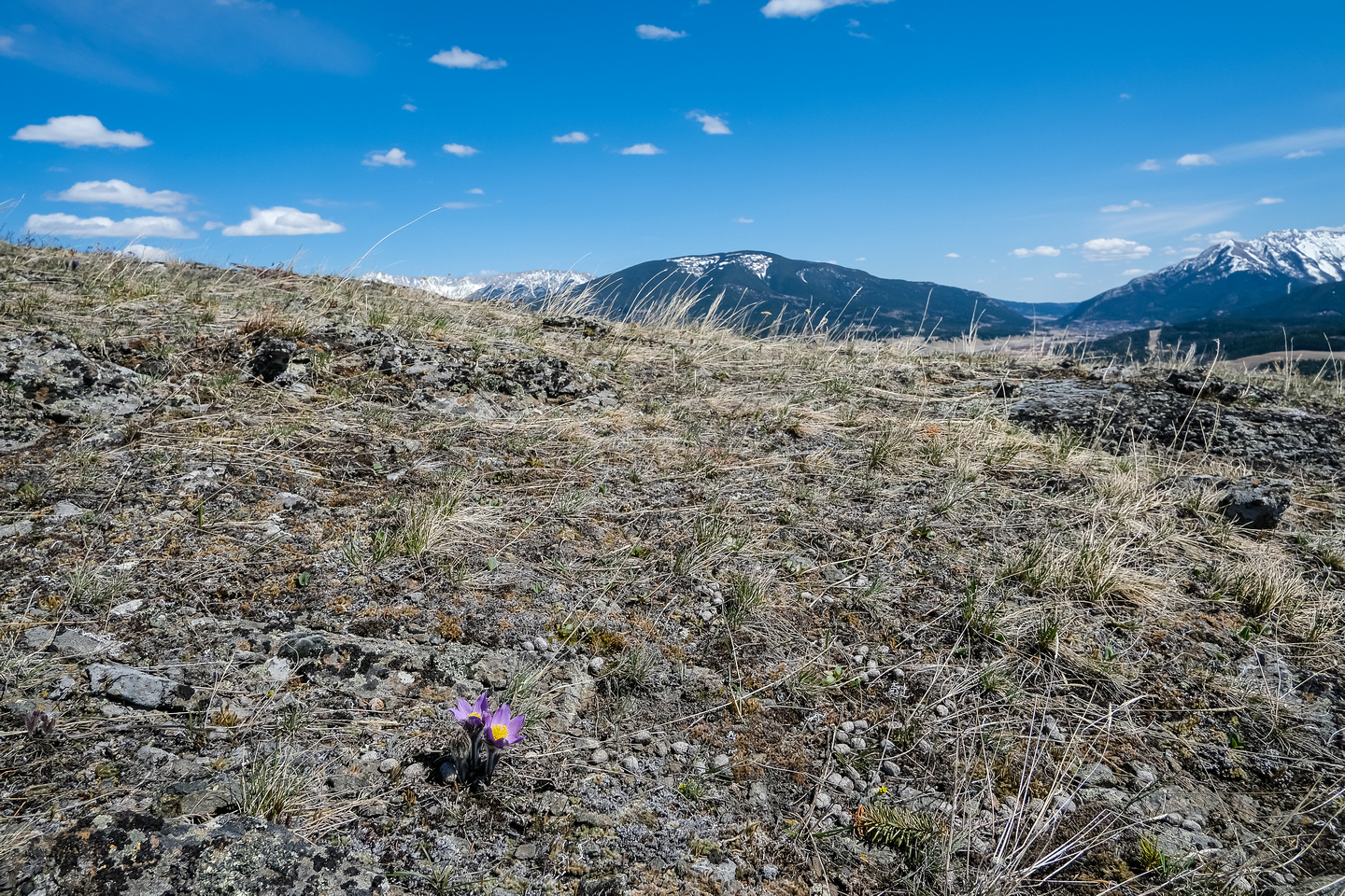 Pasque Flowers on the south slopes of Iron Ridge with Bluff Mountain in the bg.