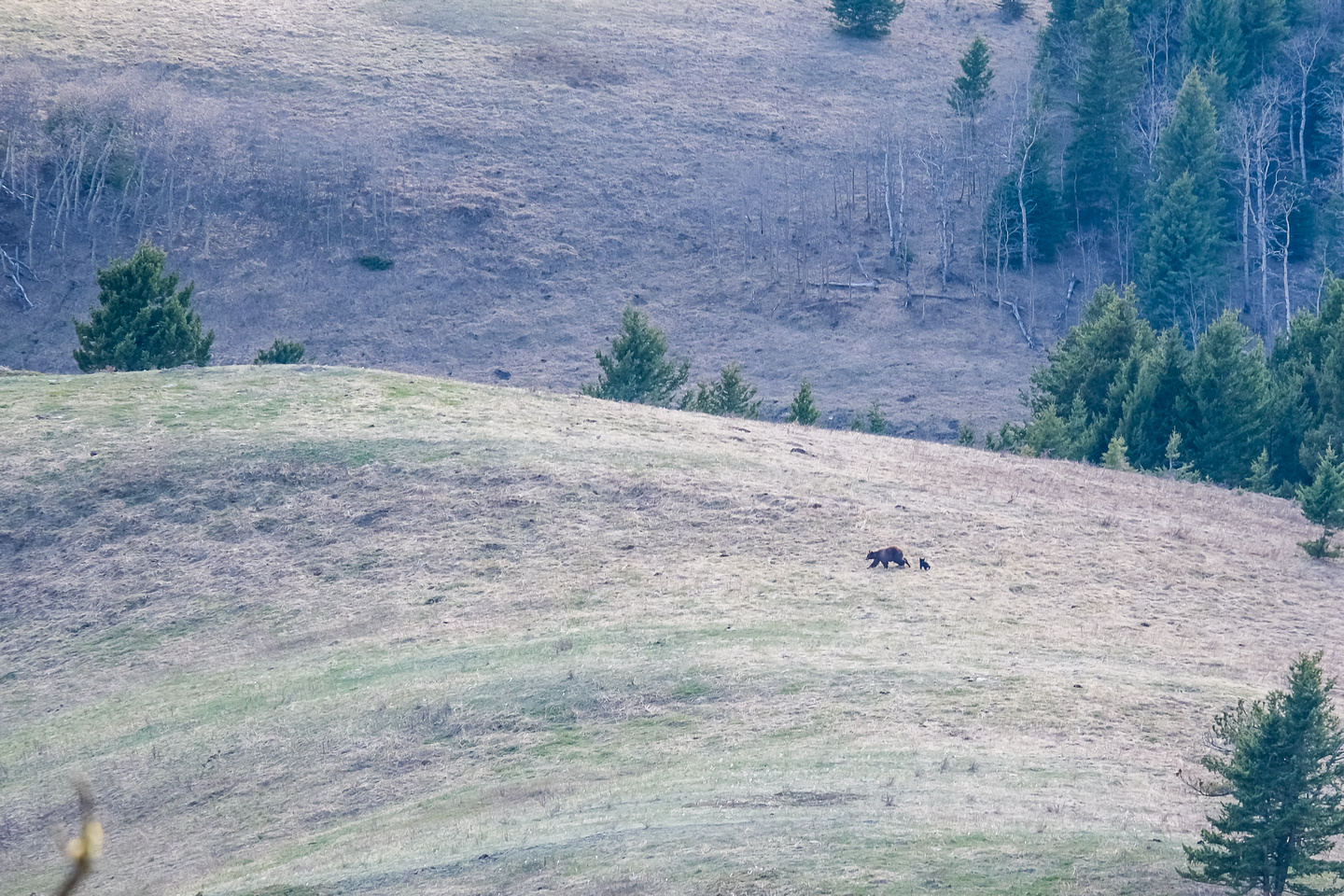 A mamma grizzly and her two cubs just west of Black Mountain.