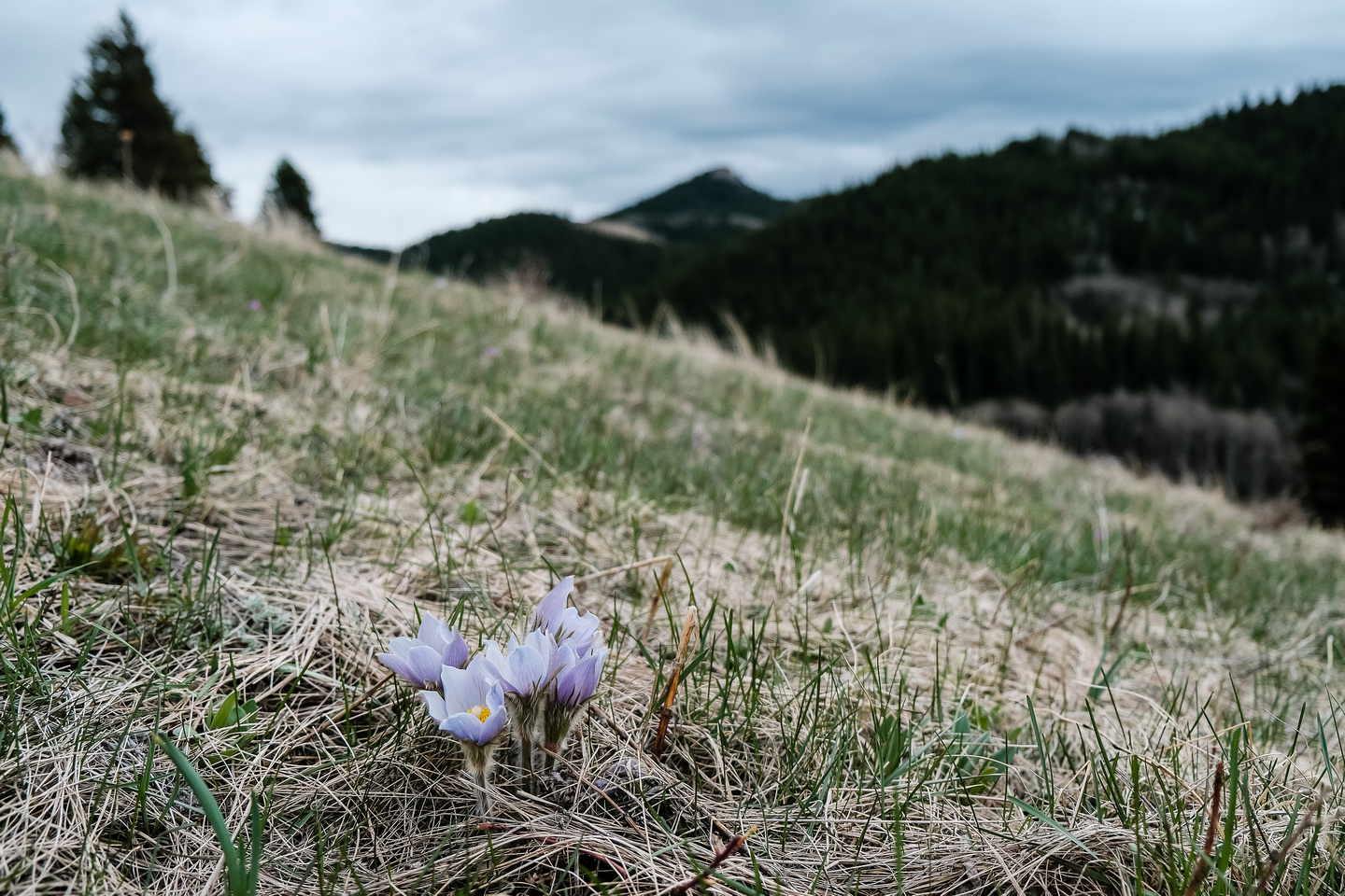 Pasqueflowers with Chimney Rock.