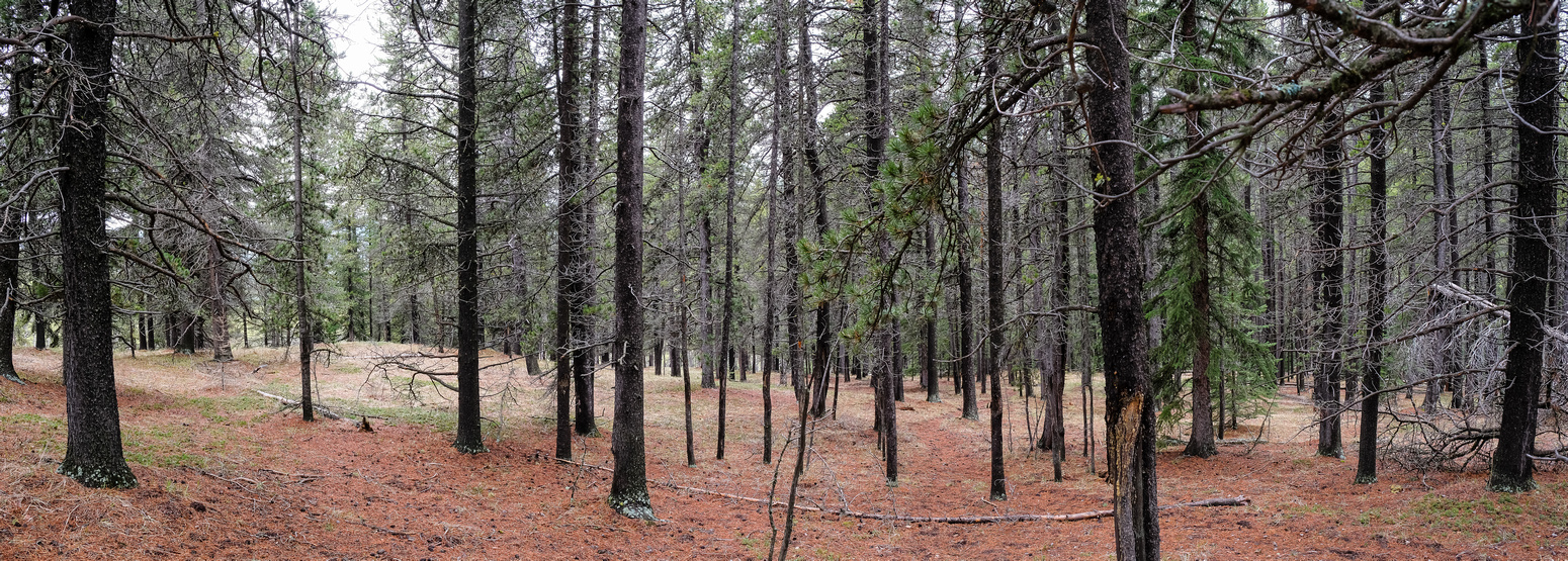 Open forest between Muley and Forked Ridge.