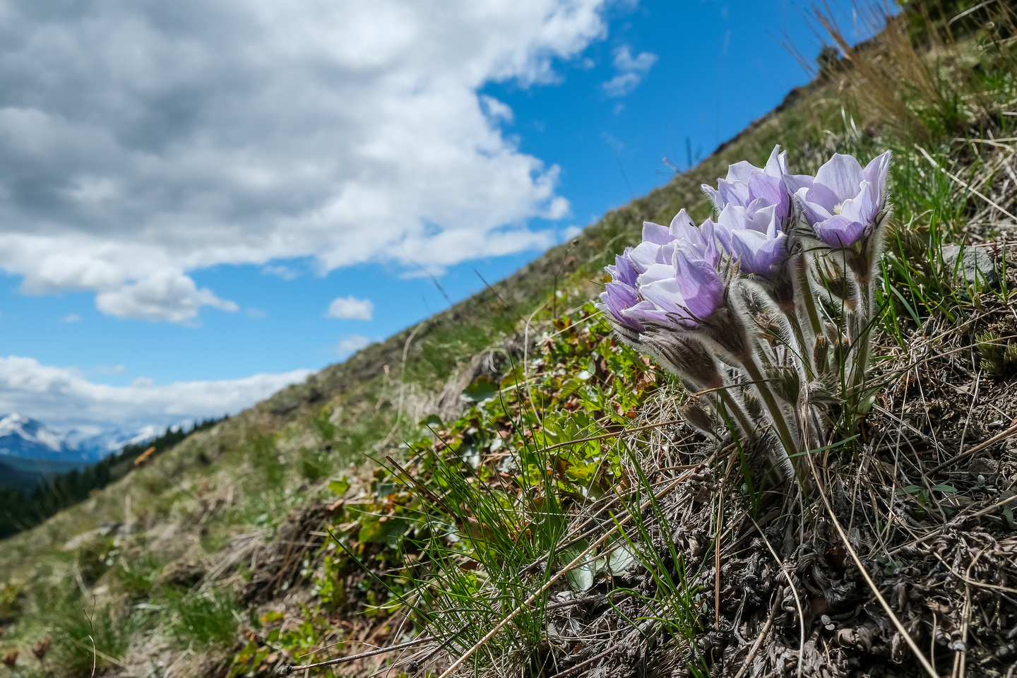 Pasqueflower.