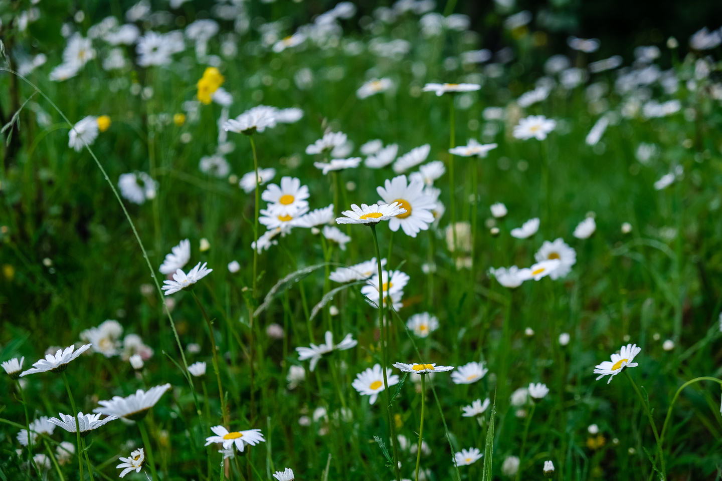 Oxeye Daisies are not native to Alberta.