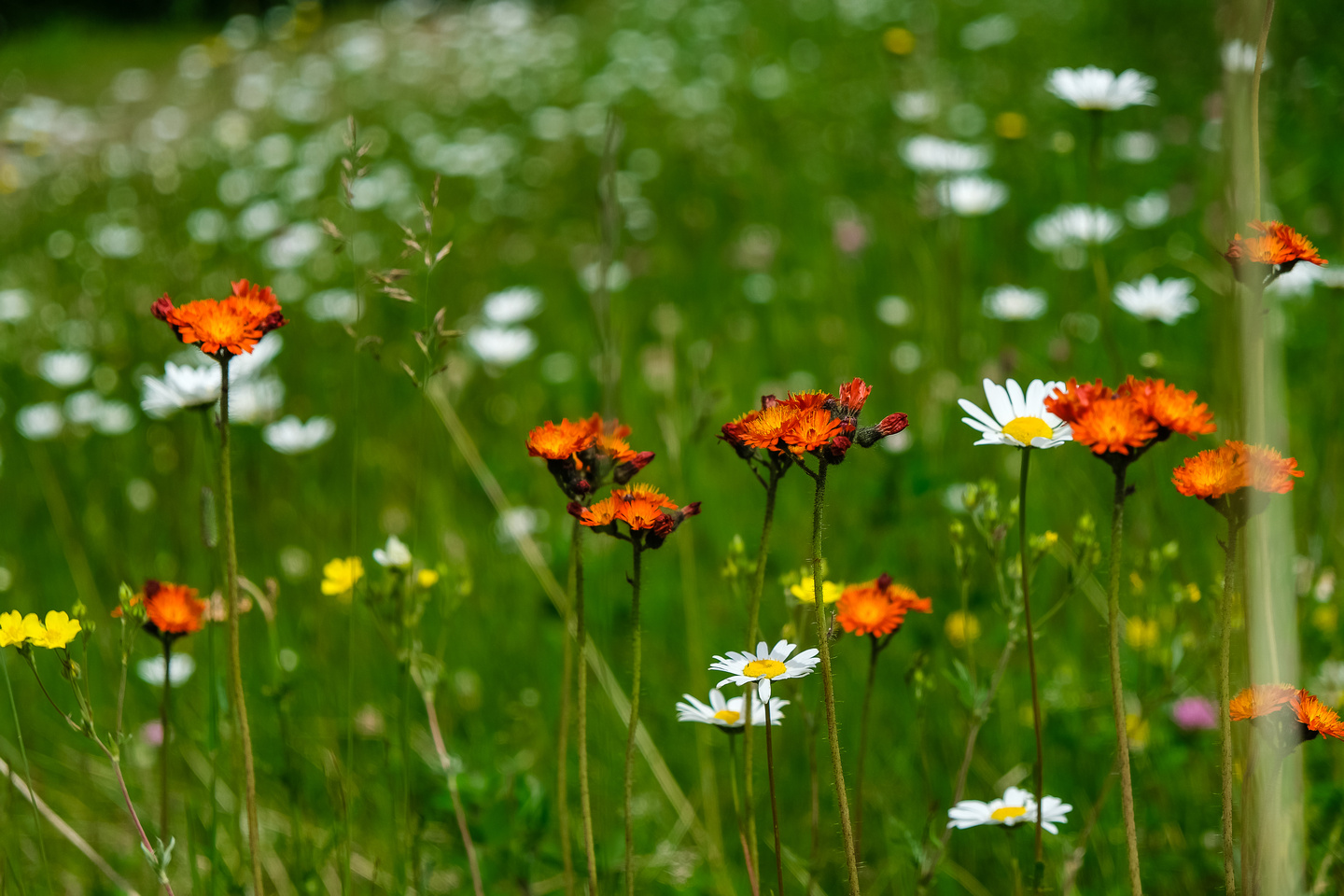 Orange Hawkweed and Oxeye Daisies - both non native species.