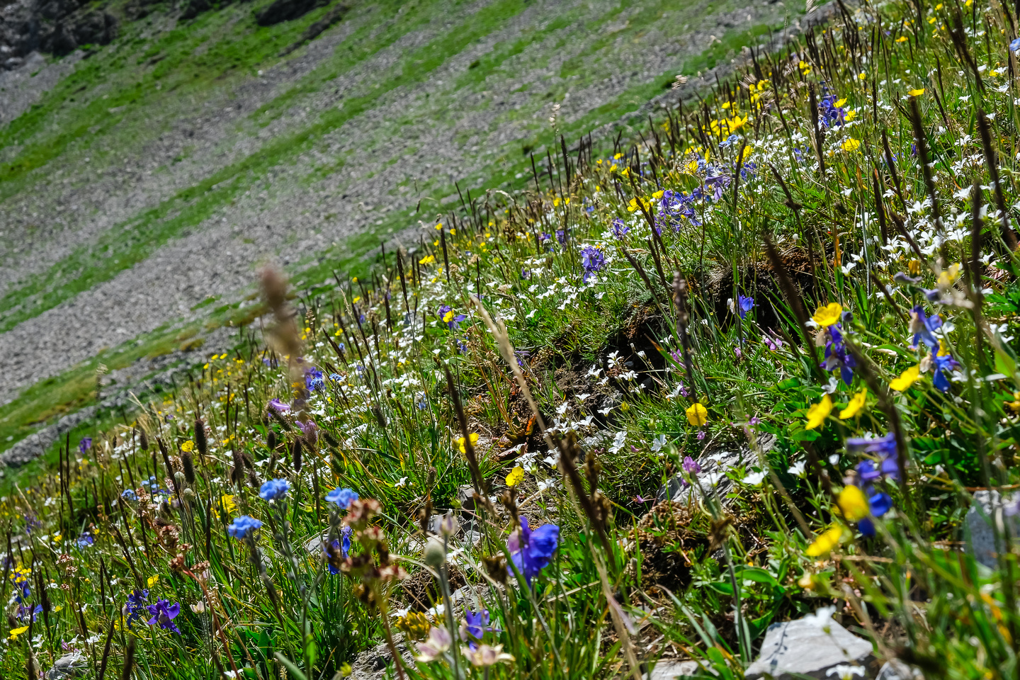 Wildflowers in the alpine meadows under the pass.
