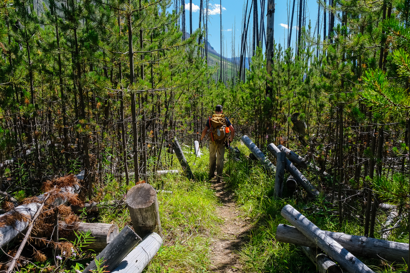 The Middle Fork Trail is maintained and obvious through a very new, tight forest.