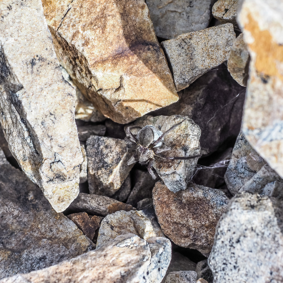 There was a ton of these huge Wolf Spiders in the rocks and boulders of Mount Shankland.