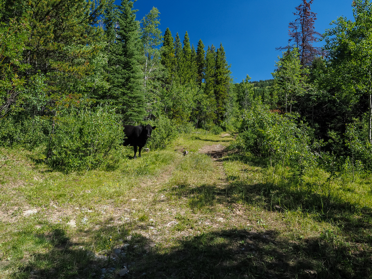 """This huge black cow nearly killed me of a heart attack when KC told me to """"look up"""". :)"""