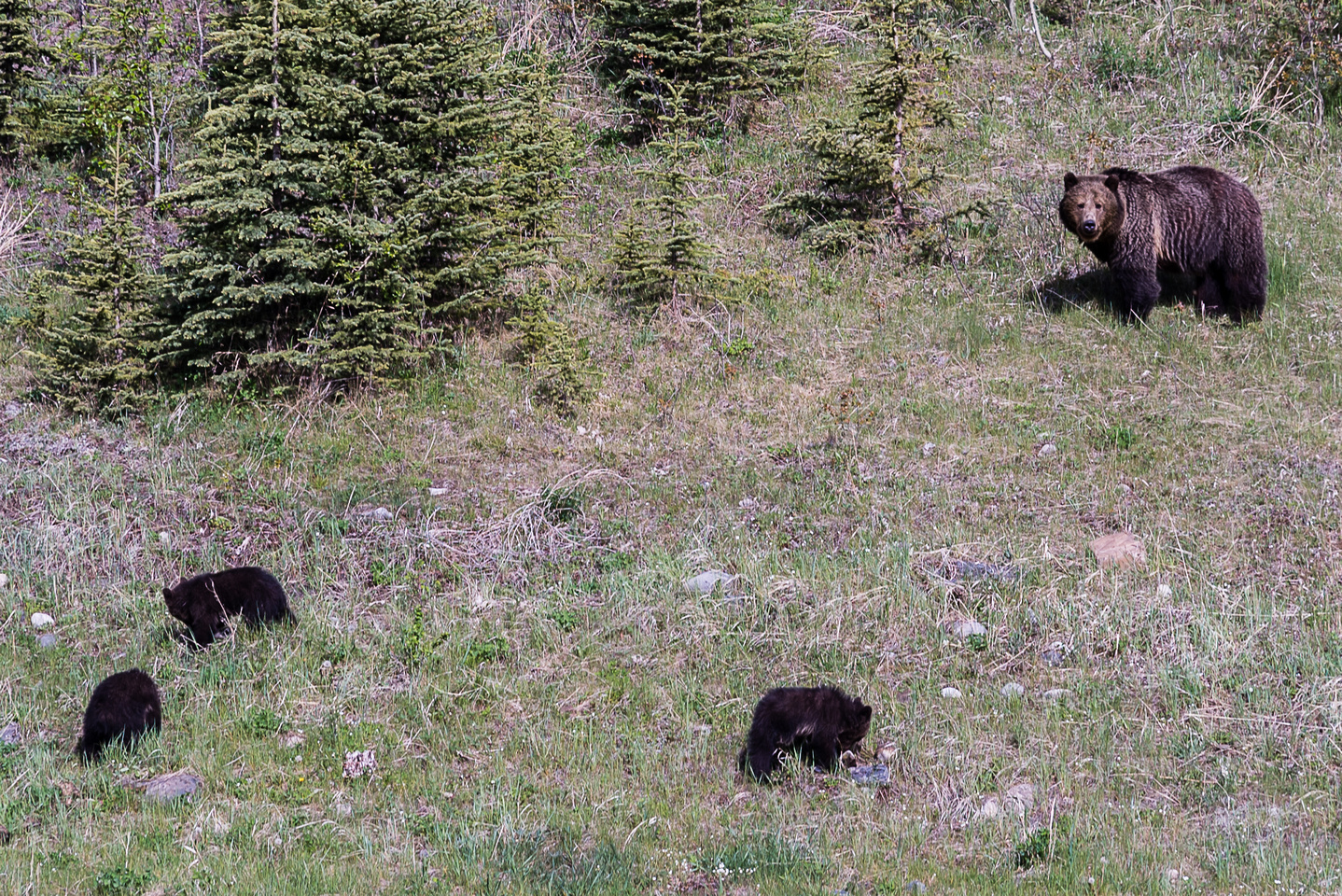 Mamma Grizzly bear and cubs.