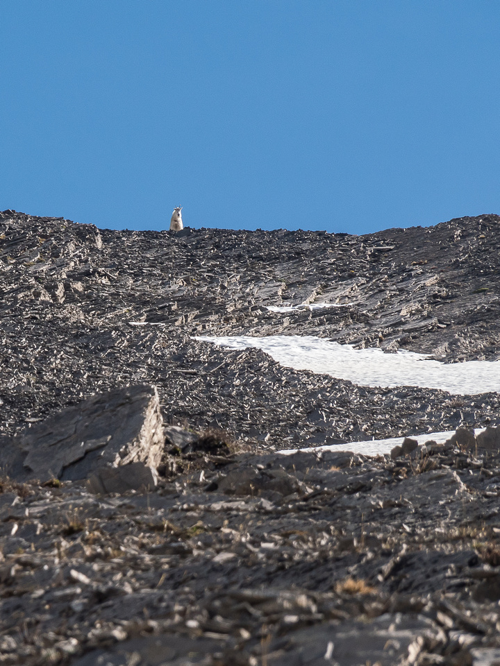 A mama goat looks down on us from the south ridge.
