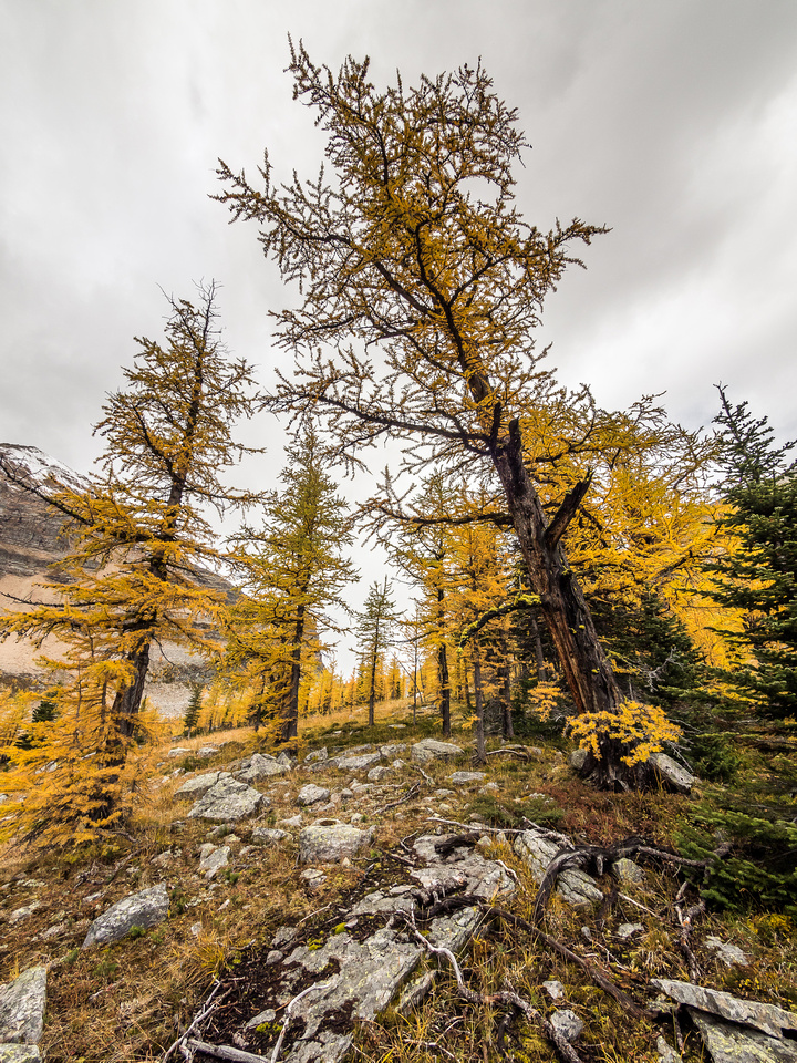 The brilliance of the larch forests cannot be overstated. The rain and snow saturated the landscape bringing out the colors.
