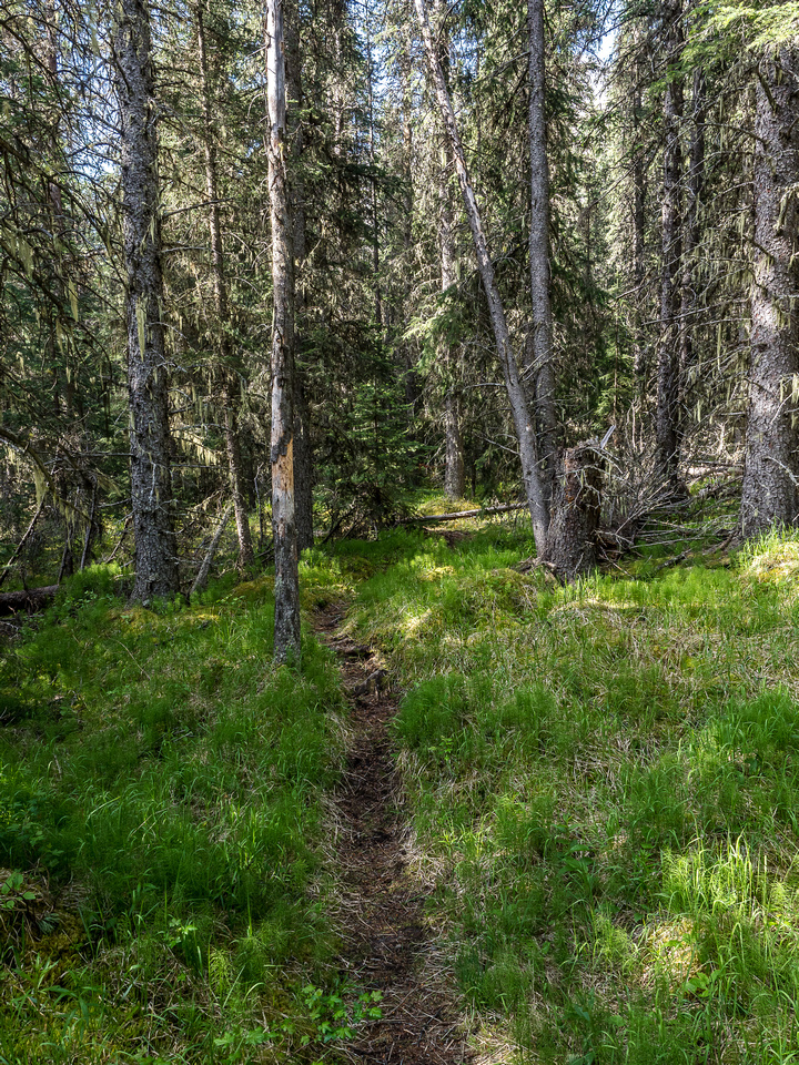 The single track trail runs off the OHV trail towards Whitegoat Pass. This is near the 2nd camp site.