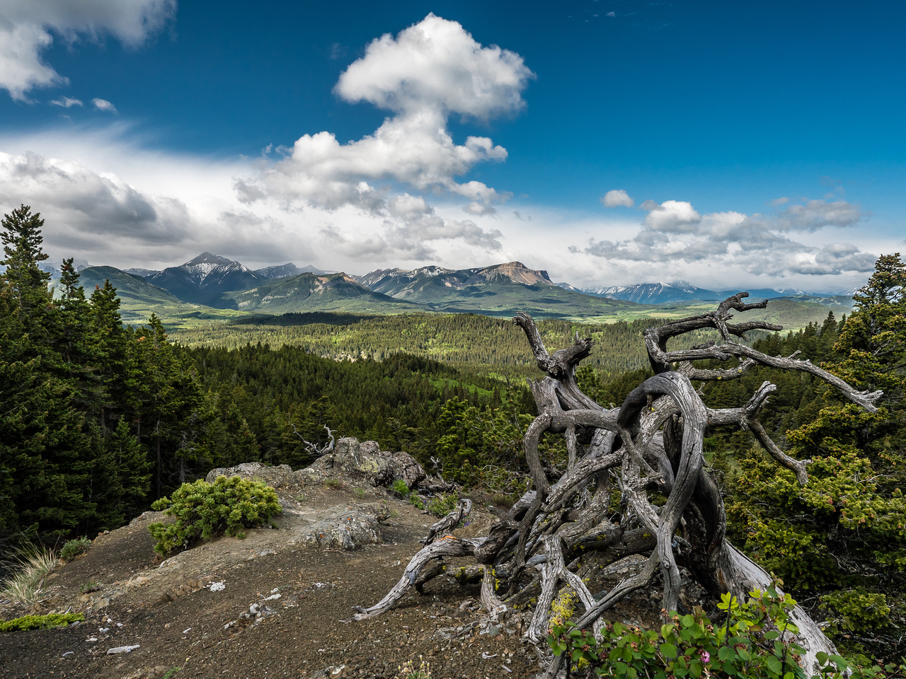 A classic Castle Wilderness scene with a gnarled, beat down tree in the foreground and mountains in the background, including Table, Syncline and Southfork.