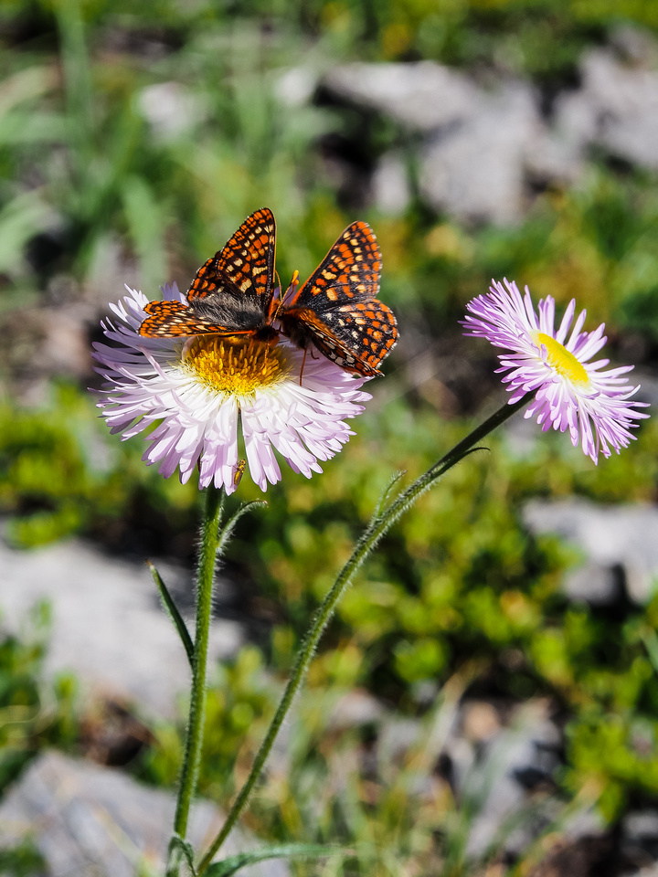 Asters and Butterflies.