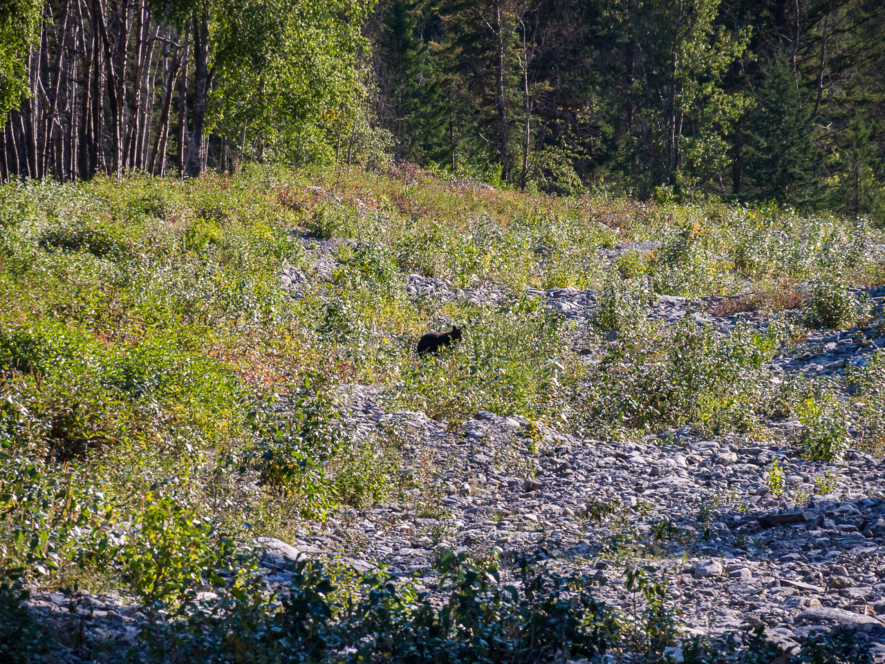 The bear that I KNEW we'd run into when I made the early morning decision to leave the bear spray at the car...