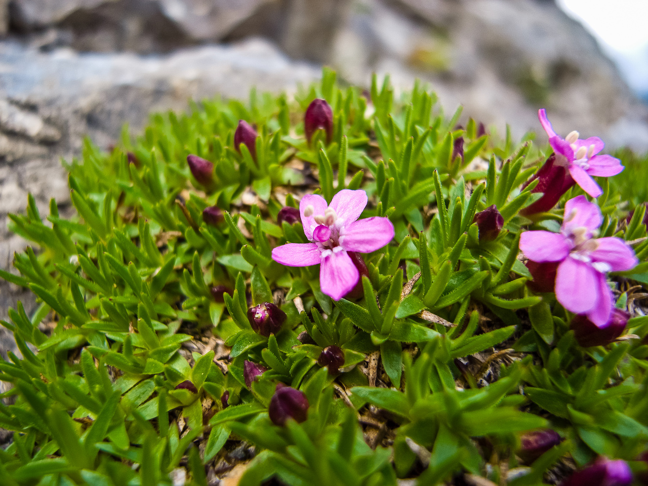 Moss Campion (can take up to ten years to first flower after seed!)